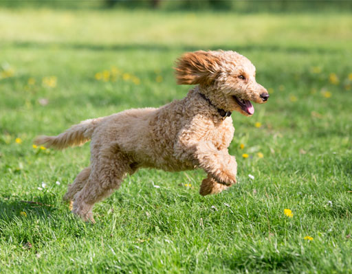 Small dog bounding across the grass