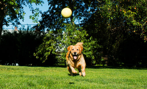 Golden retriever chasing a ball