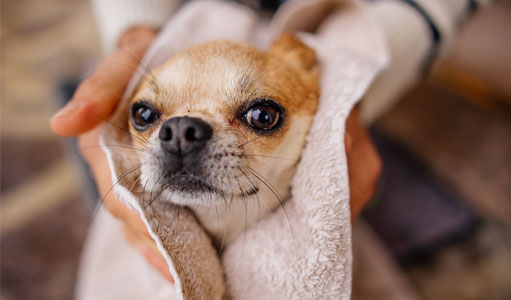 Dog being dried in a towel after a bath